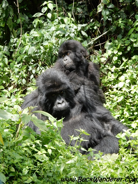 Juvenile and Baby gorilla in vegetation, Volcano National Park, Rwanda