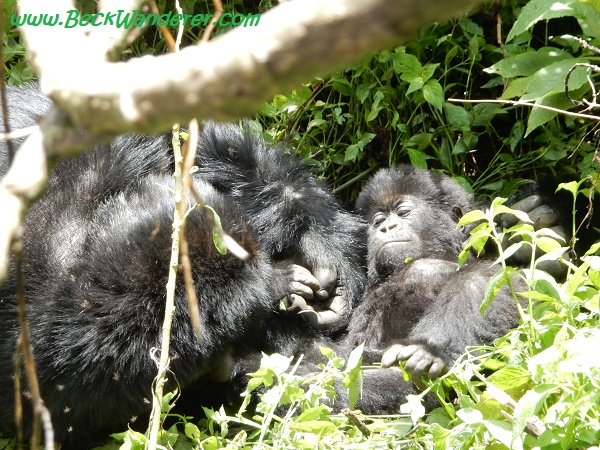 Juvenille-and baby gorilla, Volcano National Park, Rwanda