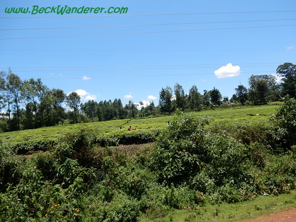 Kenyan Tea Plantations