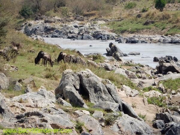 Wildebeest waiting to cross the Mara River, Maasai Mara