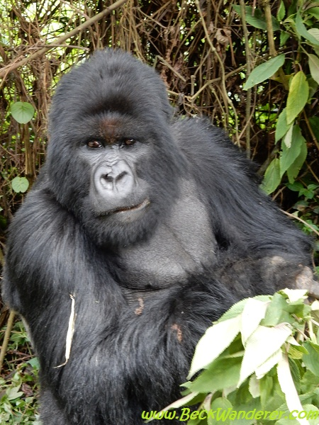 Gorilla looks like it's posing, Volcano National Park, Rwanda