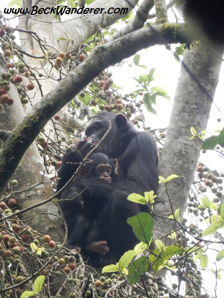 Mum and baby chimp, in tree, Queen Elizabeth National Park
