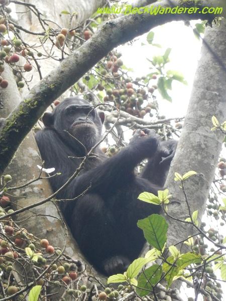 Mother Chimp in tree, Queen Elizabeth National Park
