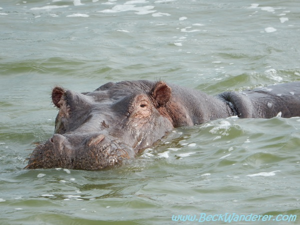 Old Hippo, Queen Elizabeth National Park