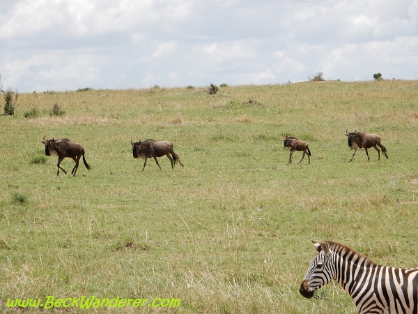 Wildebeest and a zebra