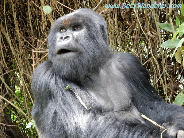 Gorilla at Volcano National Park, Rwanda