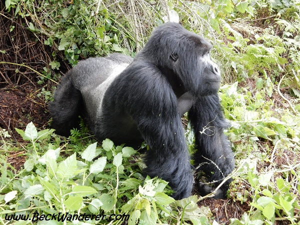 A silverback, on all fours, watching. Volcanoes National Park, Rwanda
