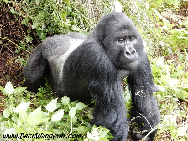 Silverback on all 4s, Volcanoes National Park, Rwanda