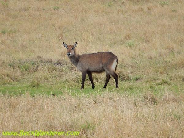 Water buck, Maasai Mara