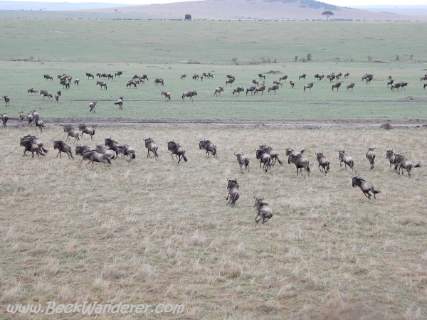 Wildebeest running across the plains of the Maasai Mara