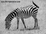 zebra-black-white-th