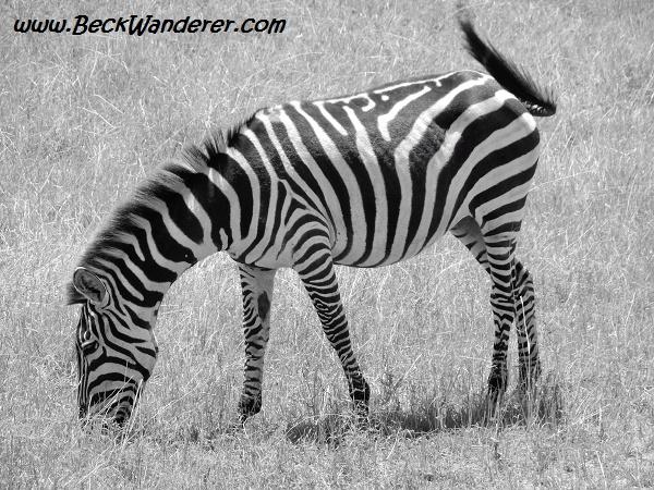 Zebra photograph in black and white