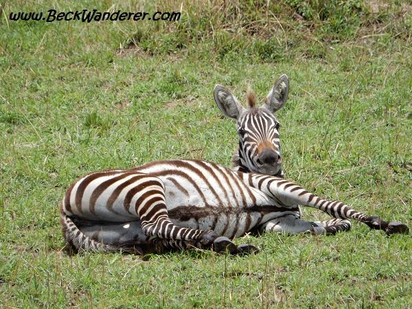 Zebra lying down