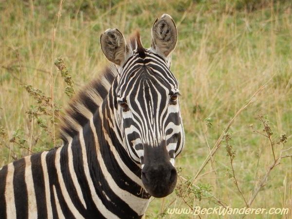 Head shot of a zebra, Maasai Mara